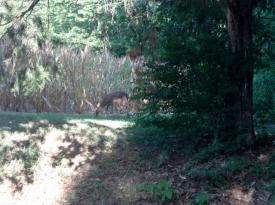deer eating the neighbor's corn this week