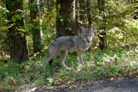 coyote at LBL