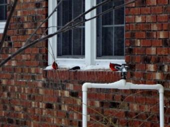 birds at my dinning room window
