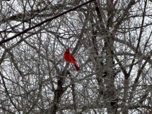 Cardinal in trees