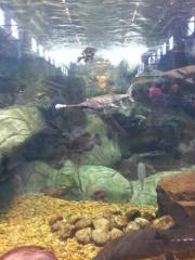 paddle fish
