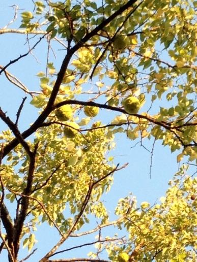 hedgeapple tree