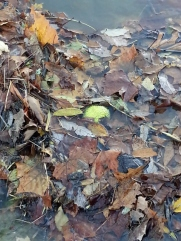 hedgeapple under water