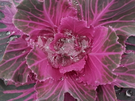 close up of ornamental cabbage