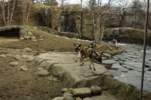 Painted Dogs