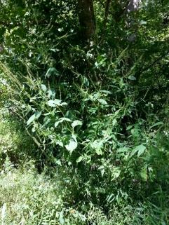 ragweed is evil