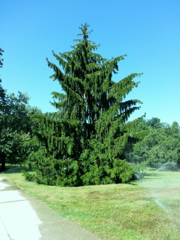 state Christmas tree