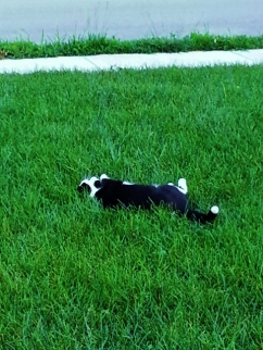 Boots lays on her back and swats at the birds that try to chase her away. So fun to watch.