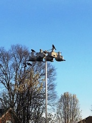 the return of the purple martins