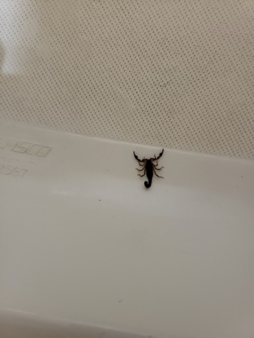 scorpion in the shower